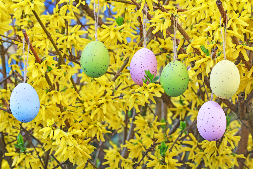 Colorful easter eggs hanging on the forsythia shrub in the garden. Spring time